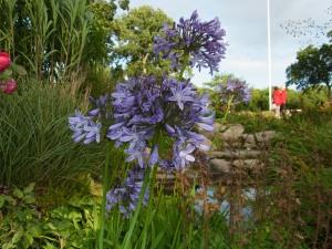 Afrikas blå lilja.