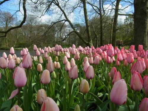 Tulpaner i Holland