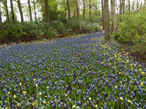 Pärlhyacinter i Holland